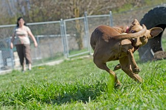 """Nathan Romans   Argonaut Volunteer Kim Romans plays fetch with """"Stud"""" at the Humane Society of the Palouse Saturday."""